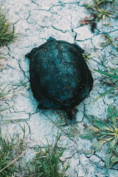 reptil, kura-kura, alam, daun, di luar rumah, Tanah, rumput, lingkungan, Tanah, pola