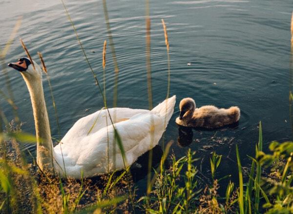 utód, fiatal, hattyú, tó, madár, víz, természet, folyó, elmélkedés, medence