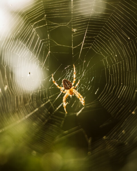spinrag, Spin, Val, backlit, Raagbol, Arachnid, spinnenweb, gevaar, Web, insect
