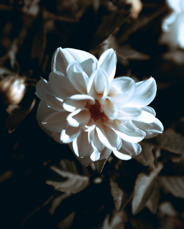 weiße Blume, Blütenblätter, Details, aus nächster Nähe, schöne Blumen, Blütenblatt, Blume, Natur, Blüte, Anlage