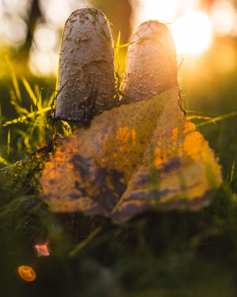 mushrooms, sunshine, sunrays, backlight, autumn season, nature, yellow, leaves, maple, autumn