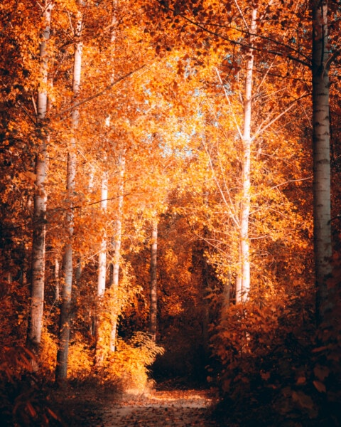 poplar, autumn, forest, forest path, forest trail, fair weather, sunny, tree, trees, wood