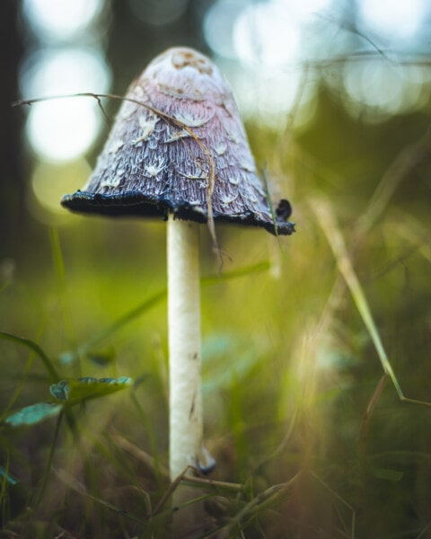 purplish, mushroom, wood, nature, fungus, wild, leaf, grass, moss, outdoors