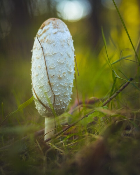 white, mushroom, morning, grass plants, nature, grass, fungus, moss, outdoors, wild