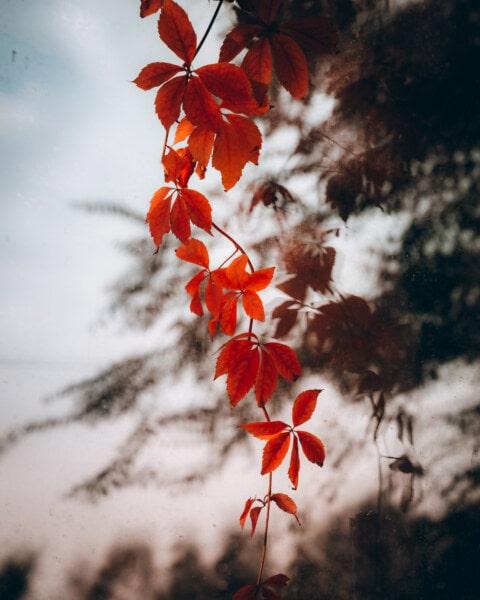 blade, rød, gren, efterår, vand, refleksion, natur, træ, blad, flora