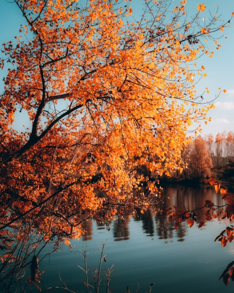 orange yellow, trees, autumn, lakeside, coast, leaves, acacia, forest, park, tree