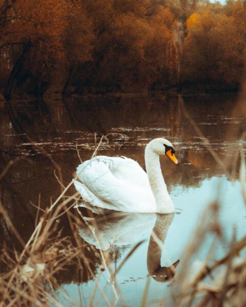 pássaro, Cisne, Outono, muito, ave, ave aquática, bico, natureza, água, Lago