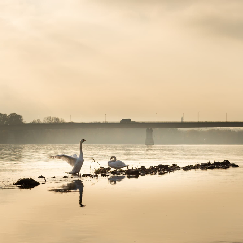Flügel, Schwan, neblig, Nebel, Fluss, Morgen, Küste, Dämmerung, am Meer, Wasser