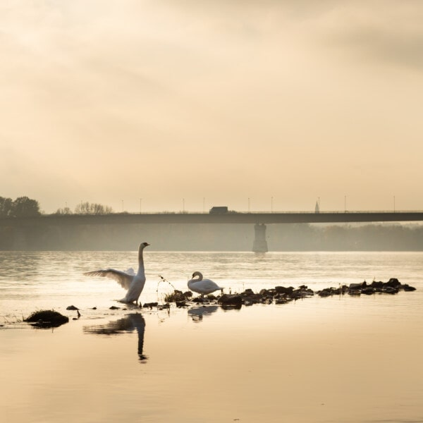 wings, swan, foggy, mist, river, morning, shoreline, dawn, seaside, water
