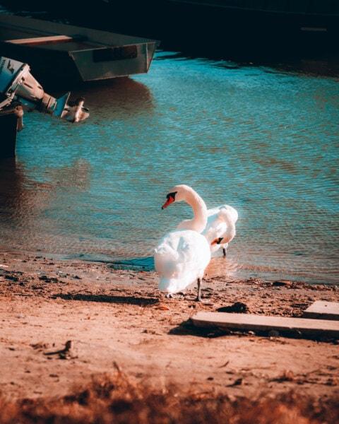 rybársky čln, labuť, motorový čln, breh rieky, vtáky, voľne žijúcich živočíchov, vták, pierko, vodné vtáctvo, Vodné vták