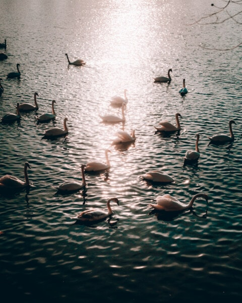 sunrays, sunset, swan, flock, reflection, horizon, water, bird, lake, nature