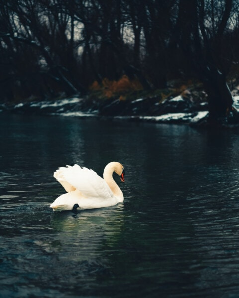 swimming, swan, cold water, snow, river, winter, lake, purity, bird, water