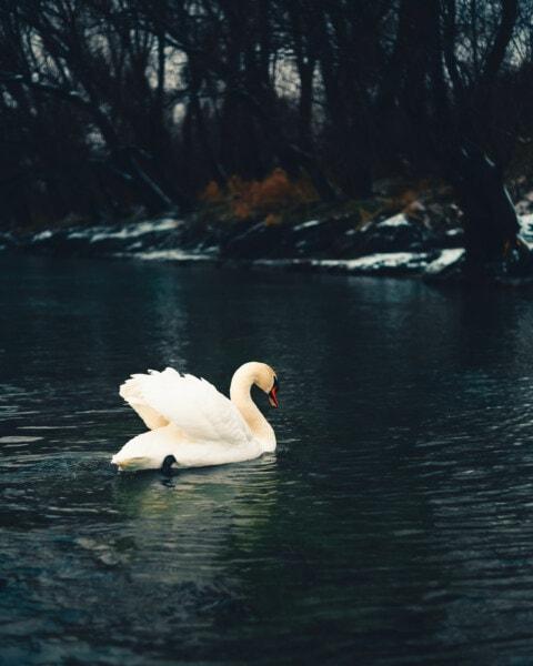 plavání, labuť, studená voda, sníh, řeka, zimní, jezero, čistota, pták, voda