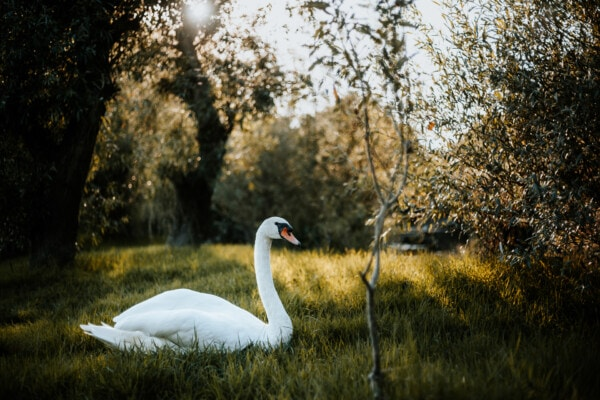 bird, swan, grass, sunset, sunrays, beautiful photo, landscape, aquatic bird, wildlife, nature