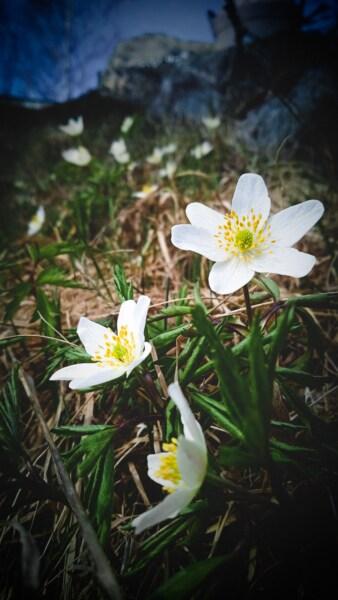 wildflower, white flower, pistil, close-up, false rue anemone, blossom, nature, aquatic plant, herb, flower