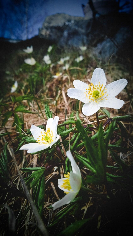 Wildblumen, weiße Blume, Stempel, aus nächster Nähe, falsche Rue anemone, Blüte, Natur, Wasserpflanze, Kraut, Blume