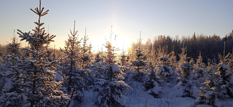 Panorama, Koniferen, Wald, Winter, Bäume, Schnee, Kälte, Struktur, Holz, Frost