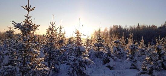 panoramy, drzewa iglaste, lasu, zimowe, drzewa, śnieg, zimno, drzewo, drewno, mróz