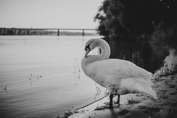swan, black and white, monochrome, bird, riverbank, grace, wet, beach, sand, water
