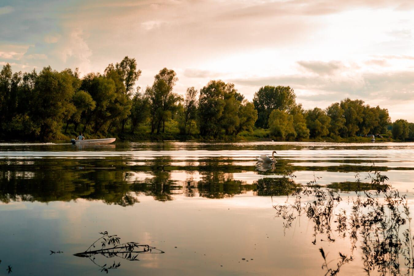 bateau de pêche, au bord du lac, cygne, pêcheur, majestueux, paysage, crépuscule, Lac, terrain, zones humides