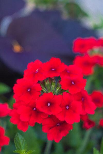 red, flowerpot, flowers, bright, garden, flora, petal, flower, nature, summer