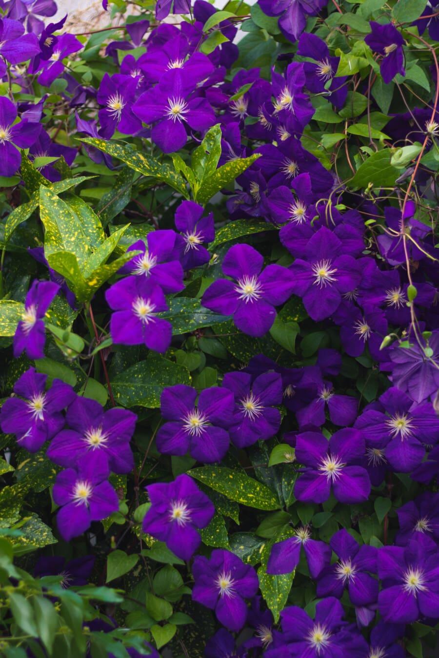 fleurs, clématite, mauvaises herbes, violacé, fleur, nature, herbe, flore, plante, feuille