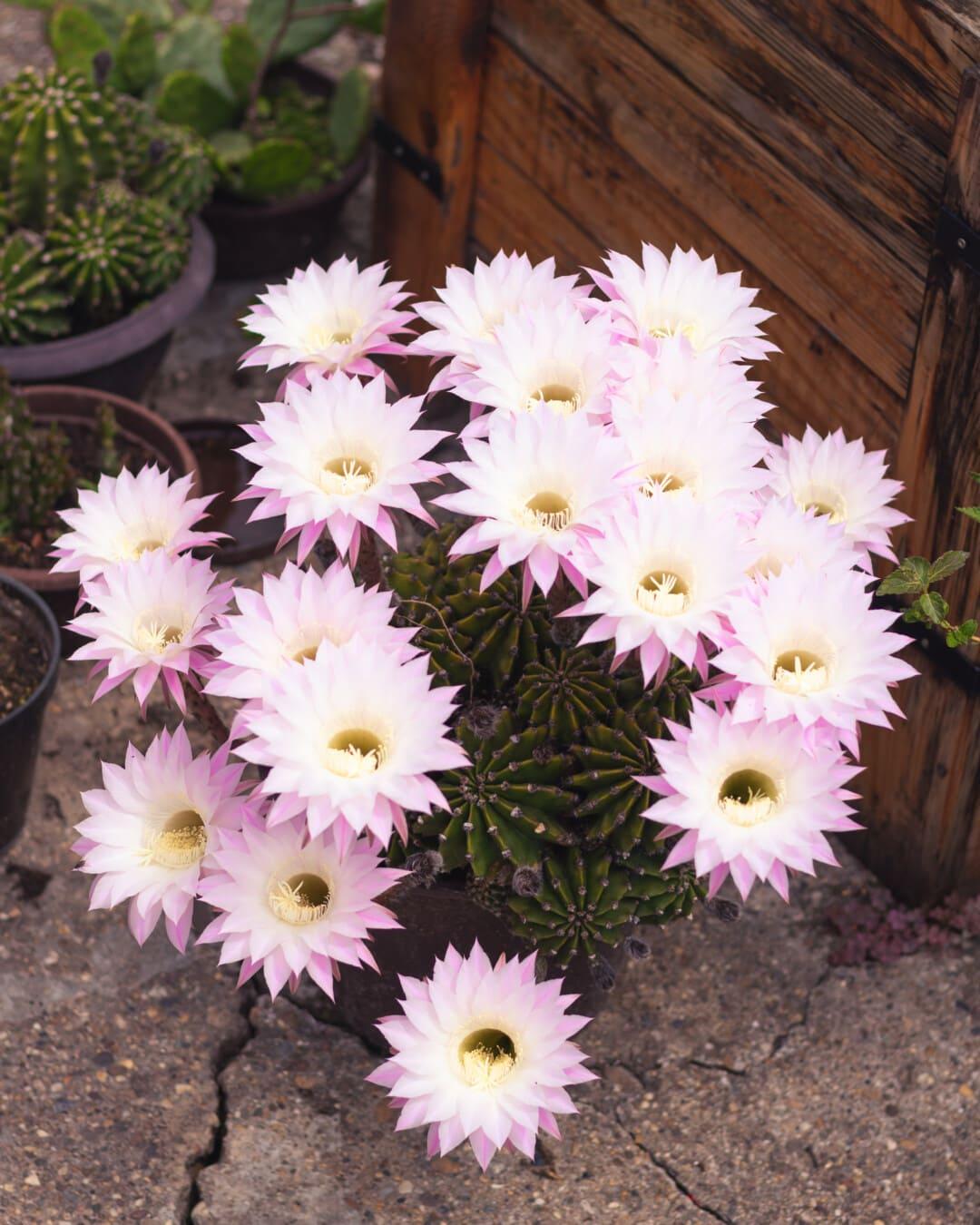 rosâtre, floraison, pot de fleurs, fleurs, Cactus, en bois, boîte de, fleur, jardin, succulentes