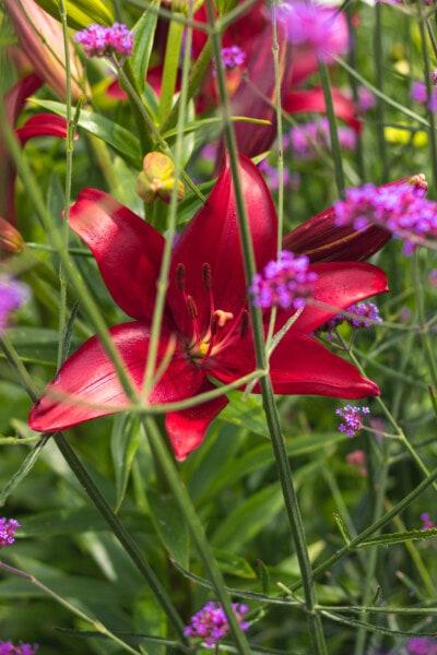 Lilie, Blume, rötlich, Garten, Blatt, Sommer, Flora, Natur, hell, Farbe