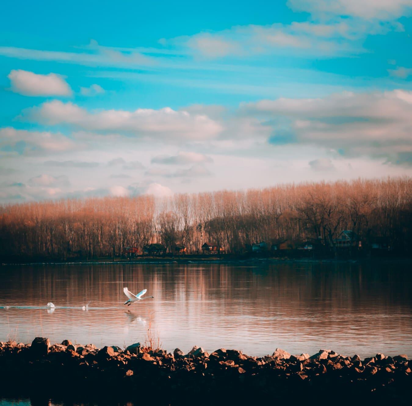 en volant, cygne, qui décolle, eau, rive, réflexion, coucher de soleil, Lac, au bord du lac, paysage