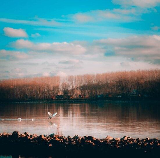 flying, swan, taking off, water, shore, reflection, sunset, lake, lakeside, landscape