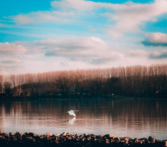 flying, swan, river, overflight, dawn, water, nature, landscape, lake, reflection