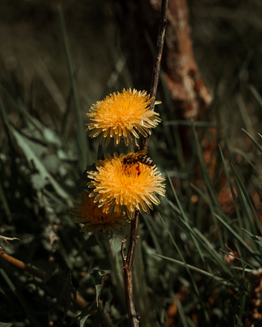 dandelion, honeybee, close-up, insect, grass plants, herb, plant, nature, flower, flora