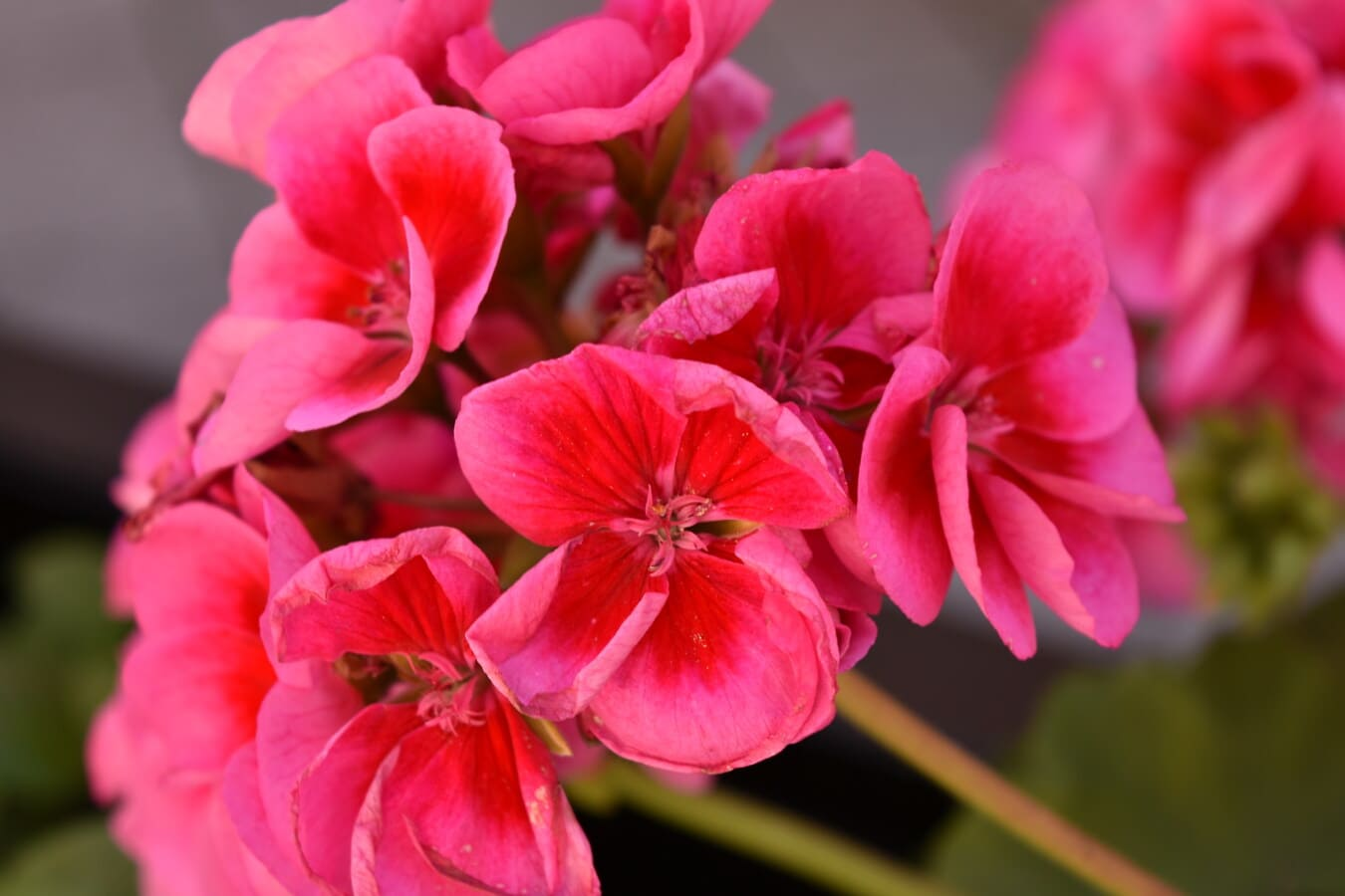 pink, geranium, vibrant, flowers, stem, nature, plant, herb, blossom, garden