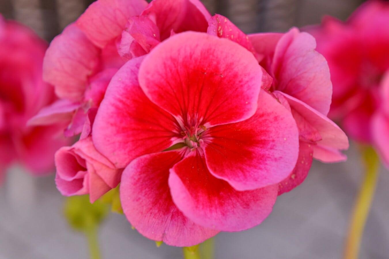 Rosa, Geranie, Stempel, Detail, aus nächster Nähe, Garten, Natur, Flora, Blüte, Anlage