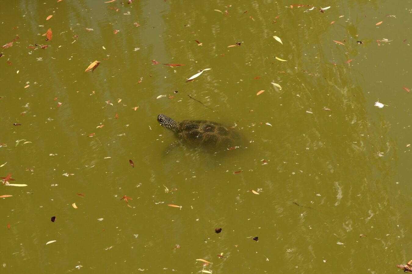 Unterwasser, Schildkröte, dreckig, Wasser, Reptil, Tier, Natur, Fluss, Schwimmen, Tierwelt