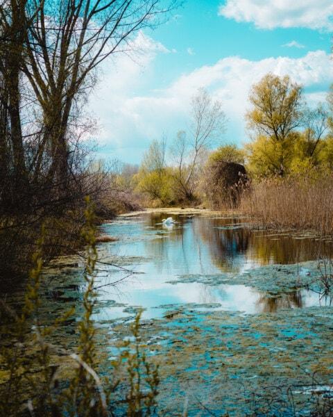 swamp, swan, wetland, spring time, willow, idyllic, poplar, majestic, nature, landscape