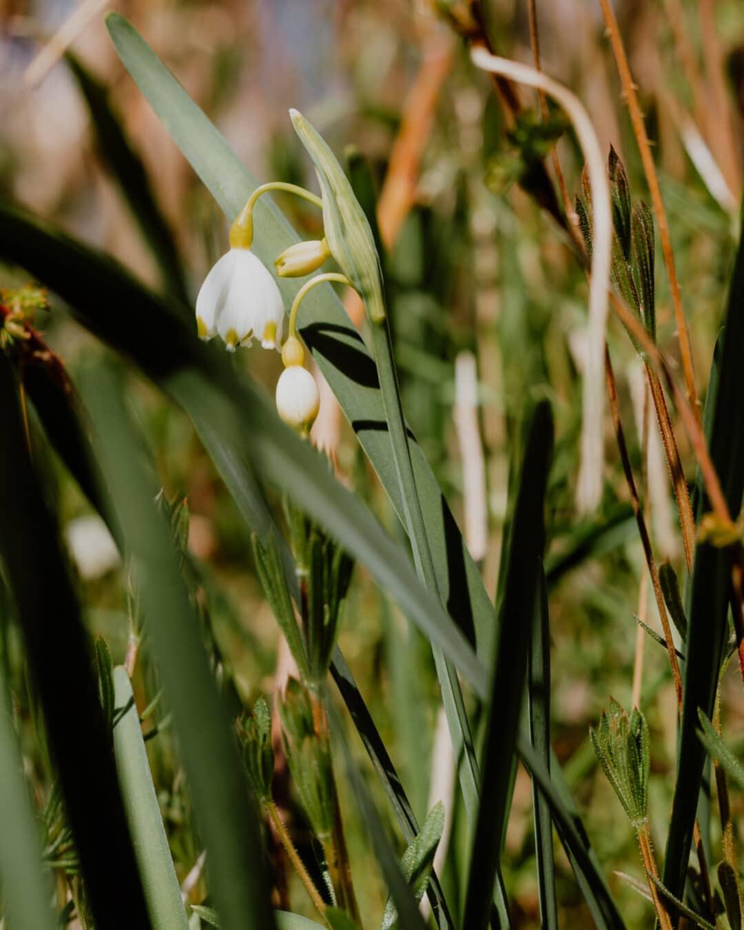 Blütenknospe, weiße Blume, Winter, Frühling, Gras, Stamm, Flora, Frühling, Blatt, Natur