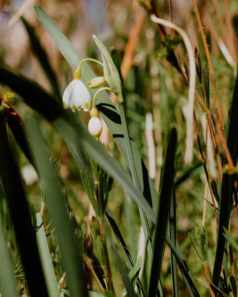 flower bud, white flower, winter, spring time, grass, stem, flora, spring, leaf, nature