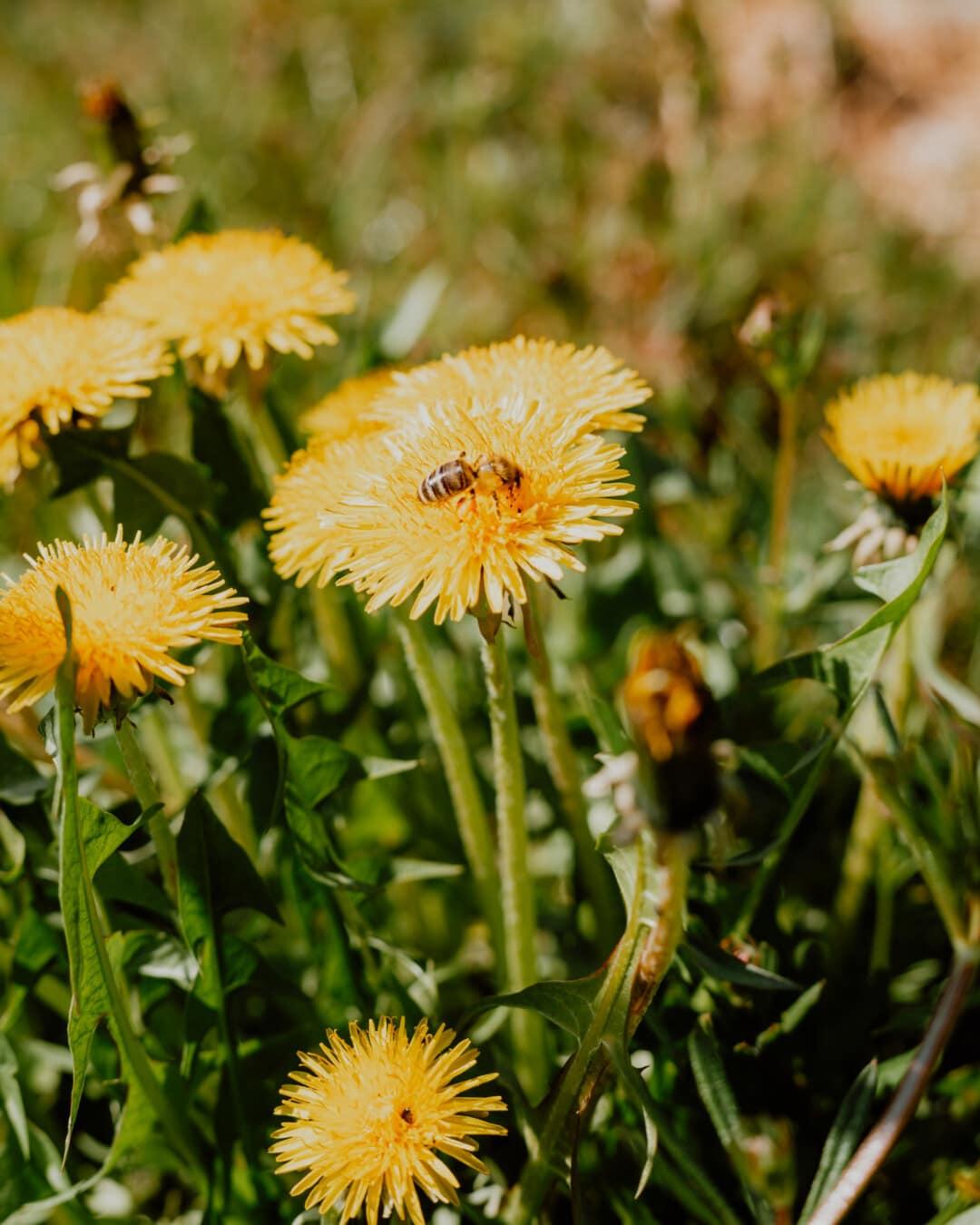 Löwenzahn, Honigbiene, bestäubenden, Sommerzeit, grasbewachsenen, Gras, Pollen, gelb, Kraut, Sommer