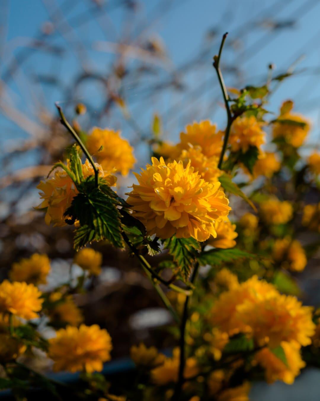 orange yellow, shrub, flowers, branches, yellow, spring, petal, herb, nature, blossom
