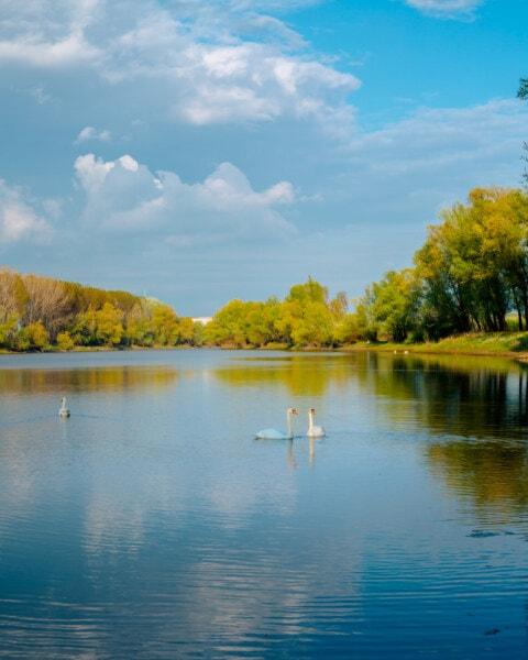 swan, bird family, majestic, lakeside, placid, landscape, forest, reflection, lake, river