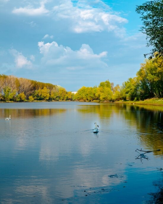 swan, lakeside, summer time, reflection, landscape, water, lake, tree, forest, nature