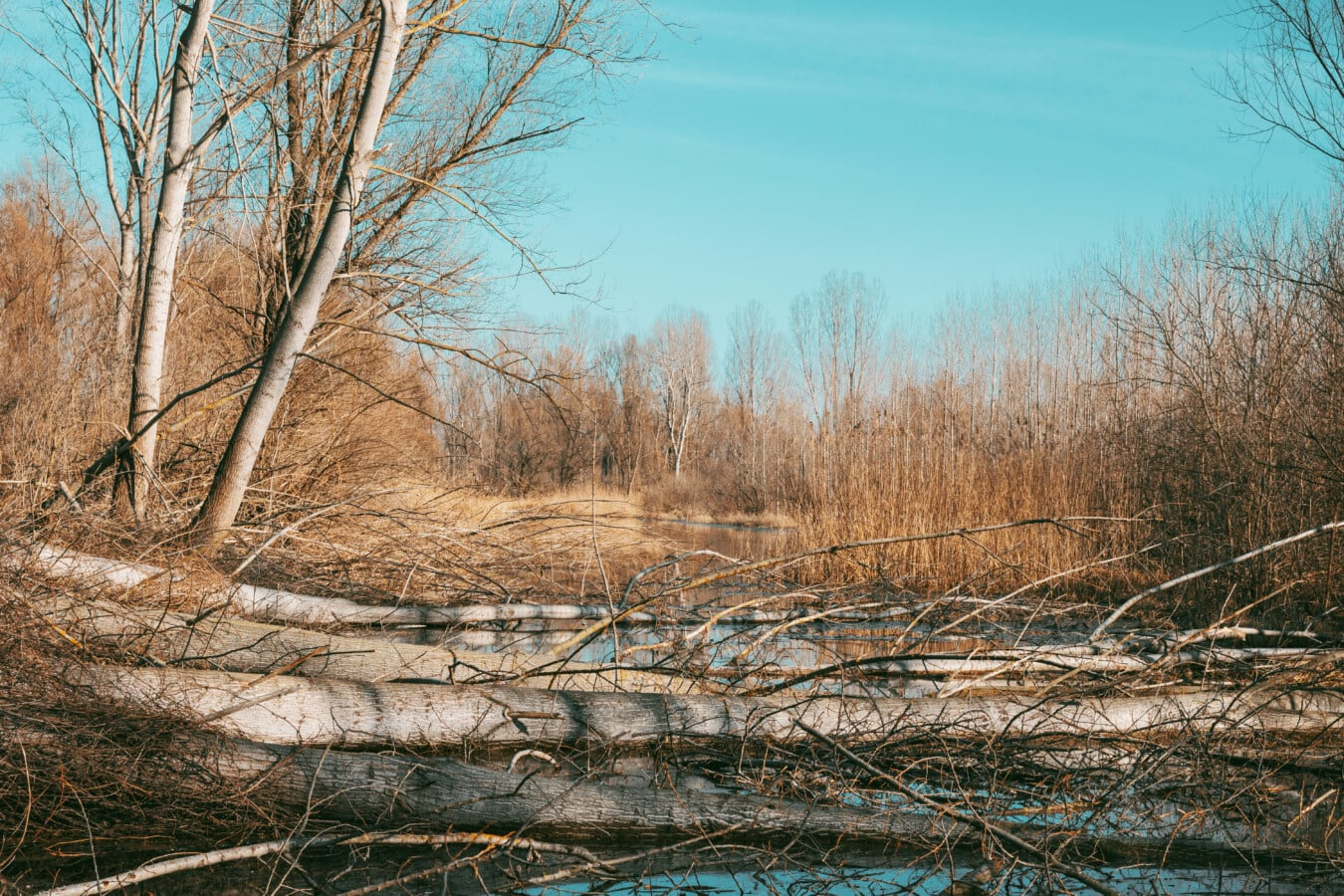 poplar, wetland, swamp, marshland, autumn season, forest, branches, trees, land, water