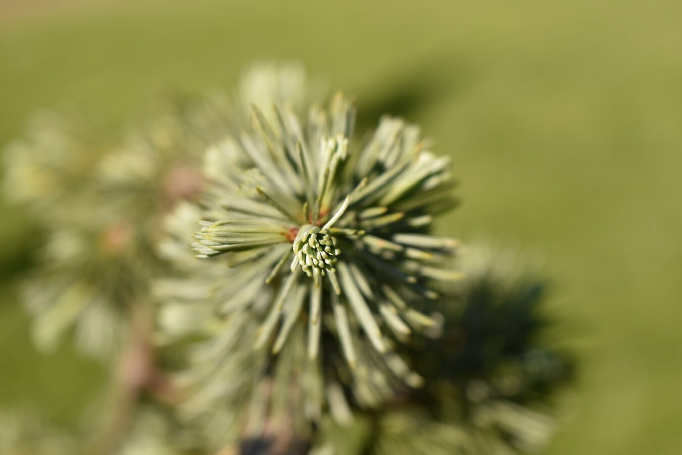 white spruce, macro, branches, green leaves, close-up, conifers, focus, blurry, tree, plant