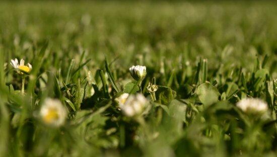 Marguerite, fleur blanche, marguerites, herbeux, graminées, l'herbe verte, pelouse, fermer, herbe, fleur