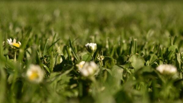 Gänseblümchen, weiße Blume, Gänseblümchen, grasbewachsenen, Graspflanzen, grünes Gras, Rasen, aus nächster Nähe, Kraut, Blume