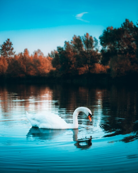 swan, waterdrops, water, ripple, side view, lake, reflection, landscape, shore, nature