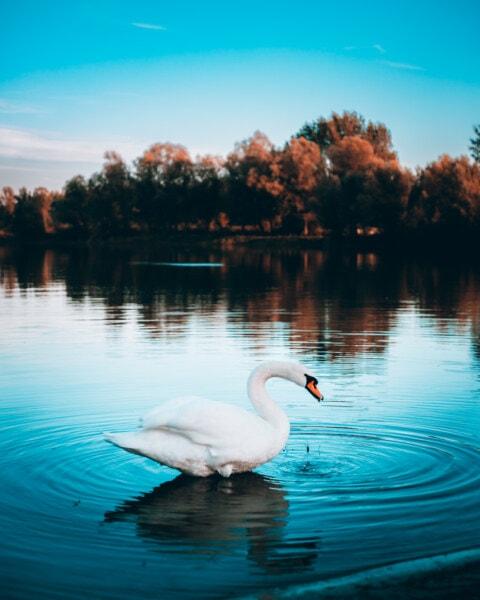standing, swan, waterdrops, water, beach, aquatic bird, lake, waterfowl, reflection, shore