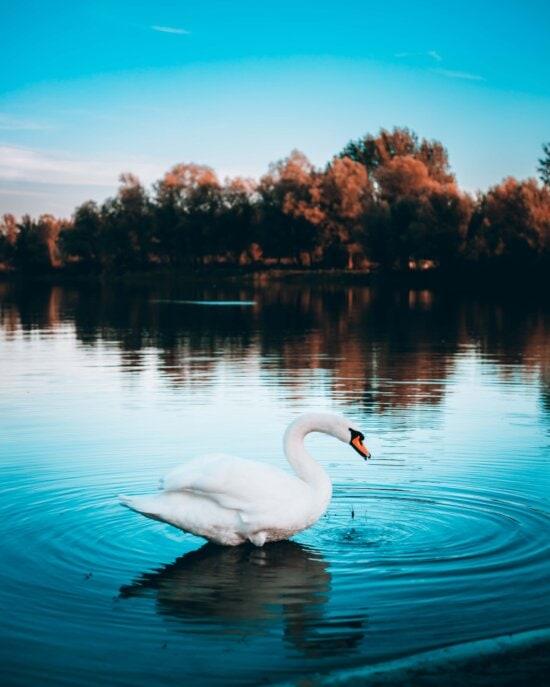 стоячи, Лебідь, краплі води, води, пляж, водні птах, озеро, водоплавних птахів, відбиття, берег