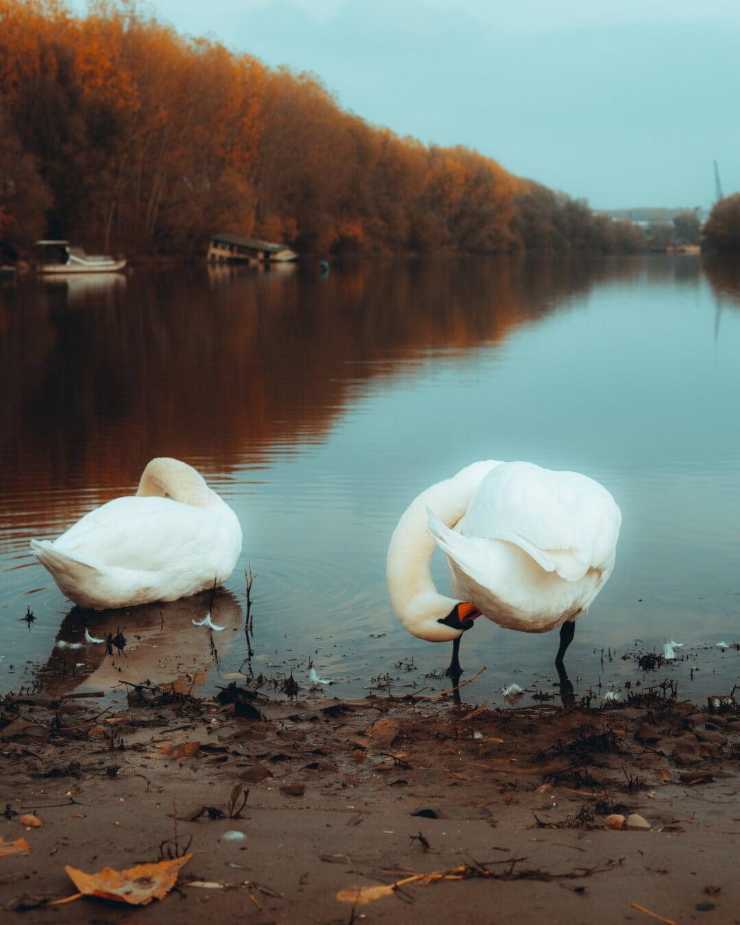 au bord du lac, cygne, placide, panache, eau, oiseau, Lac, oiseaux aquatique, coucher de soleil, nature